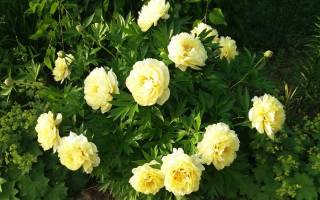 Пионы желтые сорта