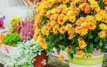 Хризантема комнатная уход после цветения