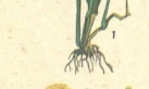 У каких растений стержневая корневая система примеры