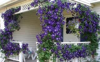 Цветы клематисы как вырастить