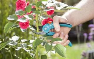 Нужно ли обрезать розы осенью