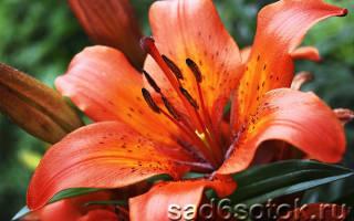 Лилии сорта классификация лилий фото