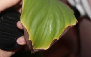 Почему сохнут концы листьев у комнатных растений