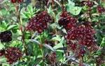 Гвоздика турецкая или бородатая dianthus barbatus