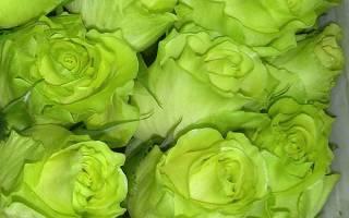 Роза доллар фото и описание