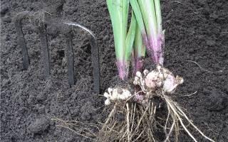 Уход за гладиолусами осенью когда выкапывать луковицы