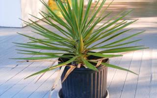 Комнатное растение юкка как ухаживать