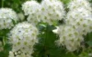 Спиреи цветущие весной
