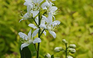 Неопалимая купина растение