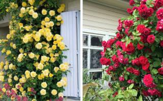 Зимостойкие сорта плетистых роз
