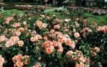 Лучшие сорта кустовых роз со знаком качества adr