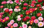 Цветы маргаритки легенды и поверья