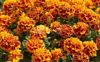 Посев многолетних цветов под зиму