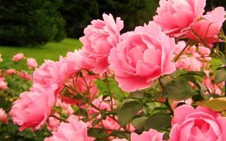 Комнатные цветы похожие на розы