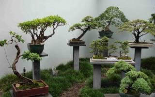 Растения для бонсай в домашних условиях