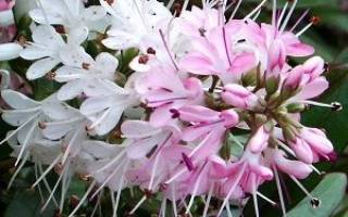 Хебе растение в открытом грунте зимовка
