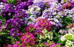 Алисиум цветок посадка в цветники фото