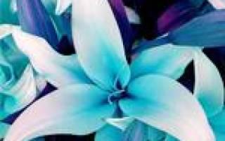 Лилия голубой ангел фото