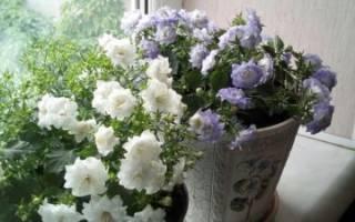 Комнатное растение колокольчик фото