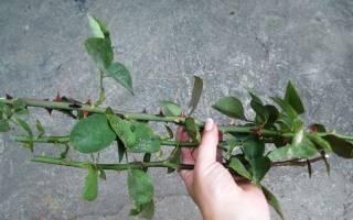 Как сажать черенки роз в домашних условиях