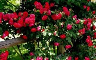 Как ухаживать за плетистой розой осенью