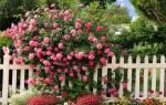 Как правильно посадить плетистую розу