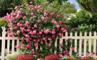 Как посадить плетистую розу