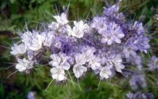 Фацелия описание растения