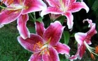 Посадка лилий весной как ухаживать за растениями