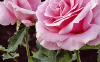 Пересадка плетистой розы весной на другое место