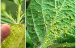 Борьба с тлей на комнатных растениях