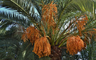 Уход за финиковой пальмой в комнатных условиях