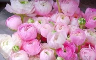 Характерные признаки пионовидных роз