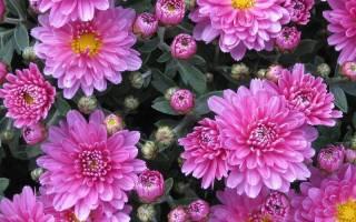 Травянистые многолетние садовые цветы хризантема chrysanthemum