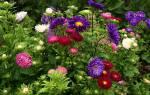 Цветы похожие на астры