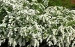 Весенне цветущие виды спиреи