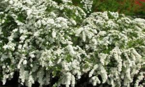 Весеннецветущие спиреи и их сорта