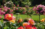 Особенности деревьев с розами