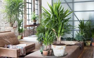 Растение юкка как ухаживать