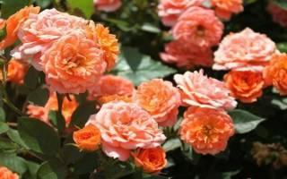 Оранжевые розы сорта