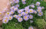 Подзимний посев цветов многолетних