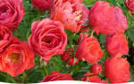 Как правильно разводить розы черенками