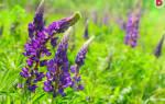 Почему для дачи выбирают многолетние цветы