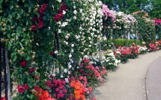 Использование розовых роз в ландшафтном дизайне и озеленении