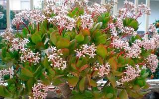 Денежное дерево комнатное растение лечебные свойства