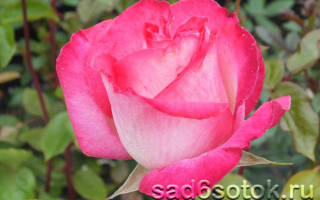 Красные розы лучшие сорта