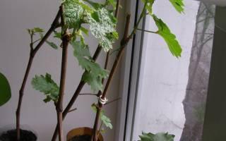 Виноград черенки в банке с водой