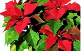 Многолетний цветок с красными листьями