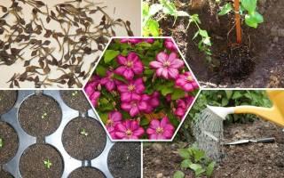 Размножение клематисов семенами