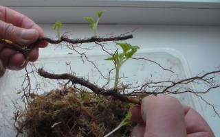 Размножение малины черенками в домашних условиях